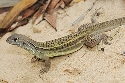 twin-flame-lizard