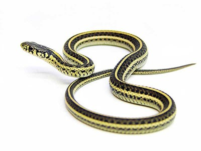twin-flame-snake