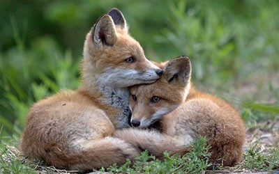 twin-flames-fox